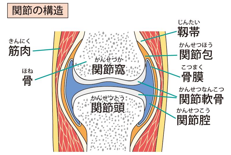 関節の構造